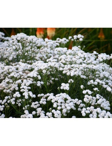 Achillea Peter Cottontail