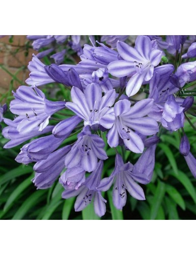 Agapanthus Ethels Joy