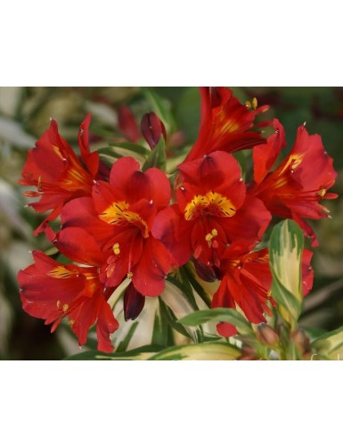 Alstromeria Little Miss Zoe