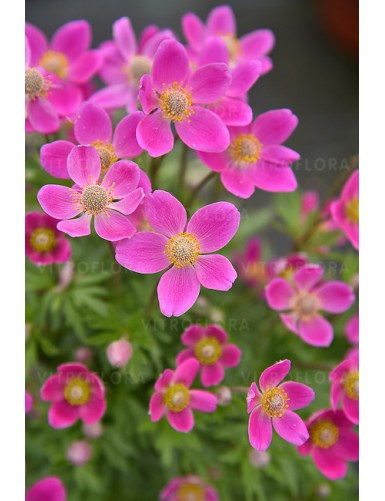 Anemone Spring Beauty Pink