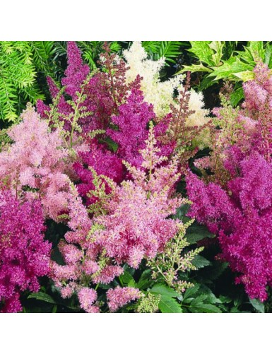 Astilbe arendsii Astary Mix