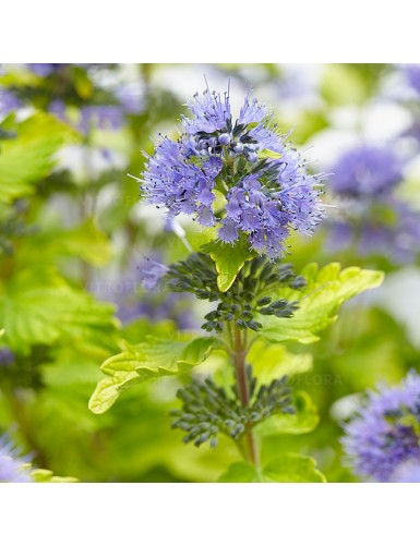 Caryopteris clandonensis Hint of Gold