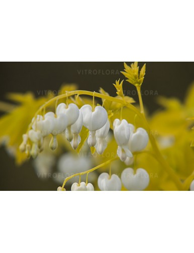 Dicentra White Gold