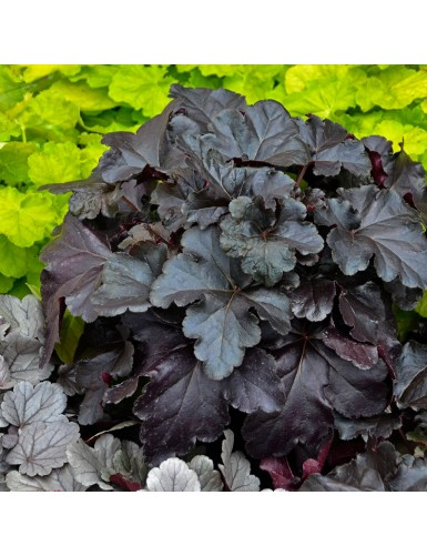 Heuchera Black Pearl