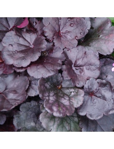Heuchera Grape Expectation