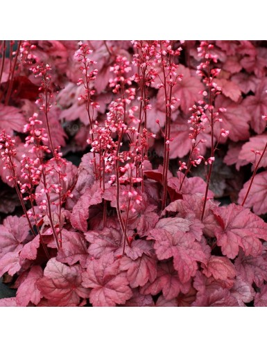 Heuchera Grape Soda