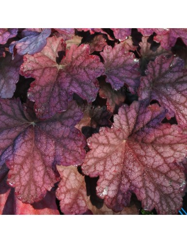 Heuchera World Caffe Shakerato