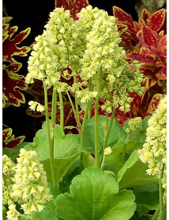 Heuchera Little Cutties Blondie in Lime