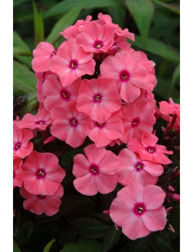 Phlox paniculata Famous Coral