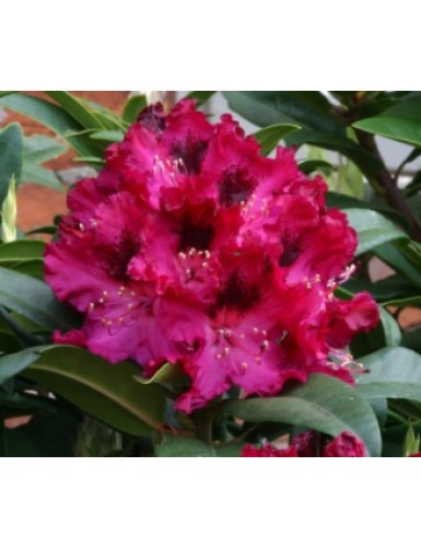 Rhododendron Marie Farty