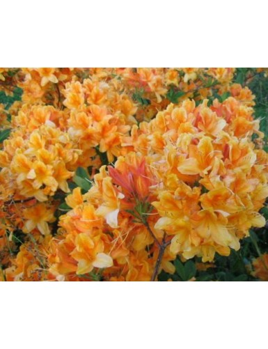 Rododendron Christopher Wren