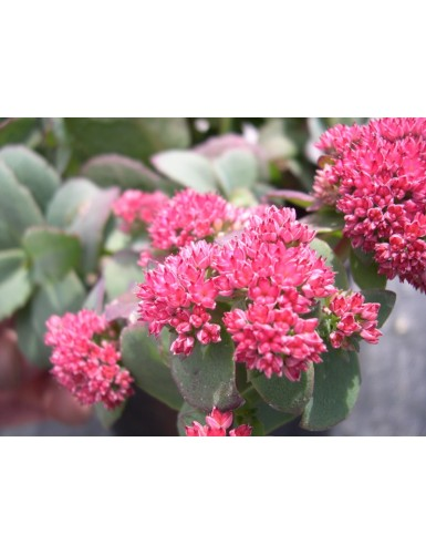 Sedum telephilum Red Cauli